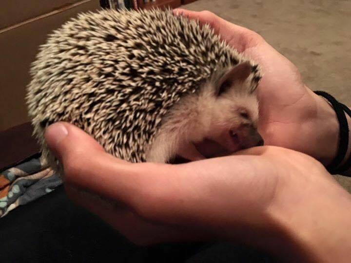 One Hedgehog Please